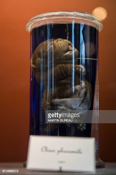 A picture taken on November 16 2017 in Paris shows a phocomelia dog displayed in a glass jar at the comparative anatomy gallery of the French museum...
