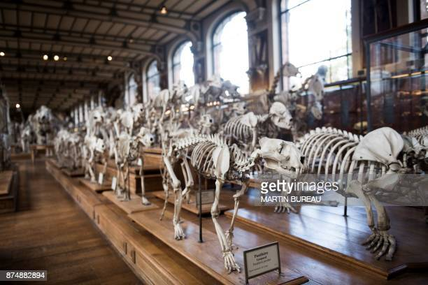 A picture taken on November 16 2017 in Paris shows animals' skeletons displayed at the comparative anatomy gallery of the French museum of Natural...