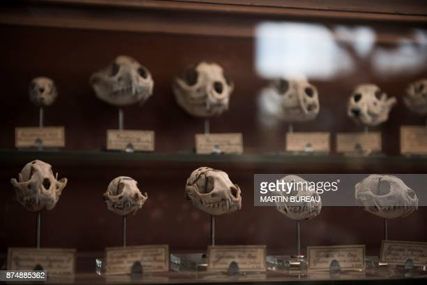 A picture taken on November 16 2017 in Paris shows animals' skulls displayed at the comparative anatomy gallery of the French museum of Natural...