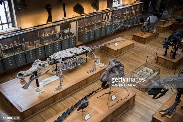 A picture taken on November 16 2017 in Paris shows dinosaurs' skeletons displayed at the paleontology gallery of the French museum of Natural History...