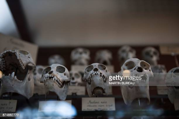 A picture taken on November 16 2017 in Paris shows skulls displayed at the comparative anatomy gallery of the French museum of Natural History The...