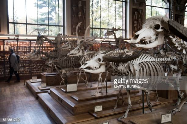 A picture taken on November 16 2017 in Paris shows the comparative anatomy gallery of the French museum of Natural History The museum needs to raise...