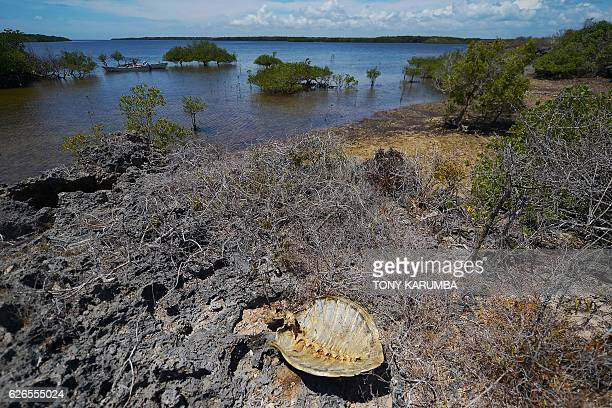 A picture taken on November 20 2016 shows a carcass of a poached green marine turtle lying on the shore of Pate island in the Lamu archipelago off...