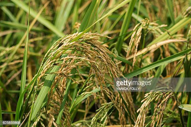 A picture taken on November 21 2016 in Ouinhi some 80km north of Porto Novo southeastern Benin shows rice in ricefield in a 'Smart Valley'...