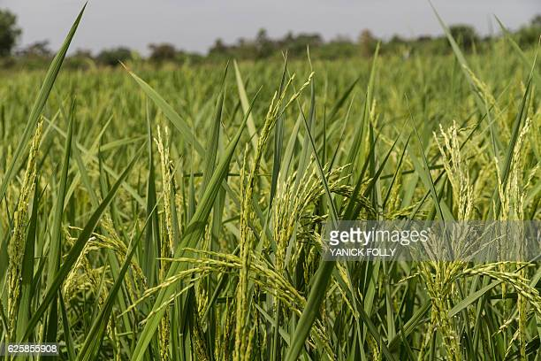 A picture taken on November 21 2016 in Ouinhi southeastern Benin shows rice in ricefield in a 'Smart Valley' benefitting from new irrigation system...