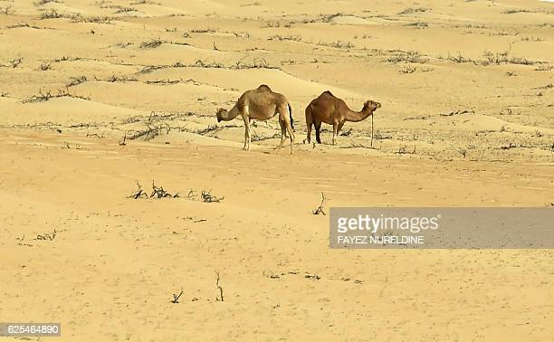 A picture taken on November 23 2016 shows two camels walking in the sand dunes near Jubail City 570 kms east of the Saudi capital Riyadh / AFP /...