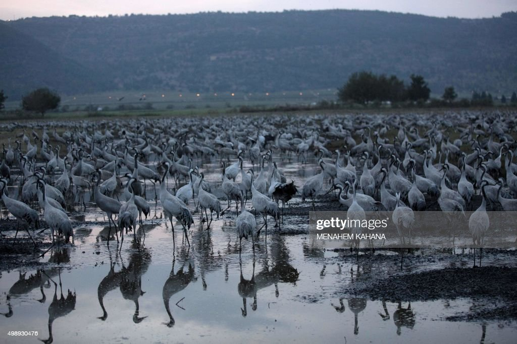 A picture taken on November 26 2015 shows Gray Cranes at the Agamon Hula Lake in the Hula valley in northern Israel More than half a billion birds of...