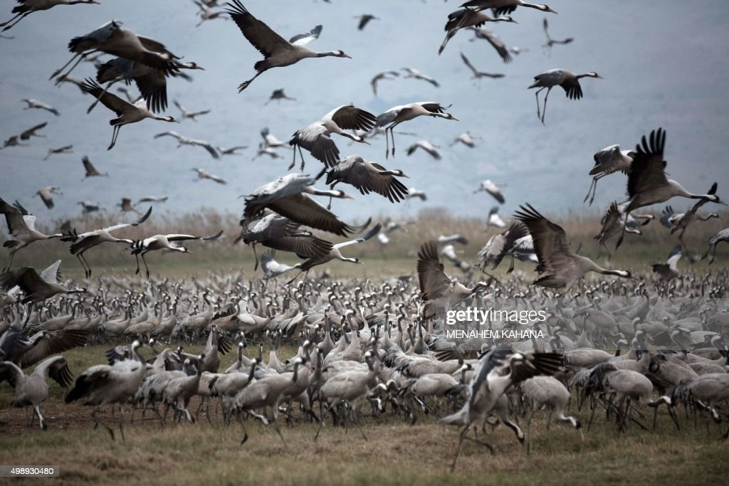 A picture taken on November 26 2015 shows Gray Cranes flocking at the Agamon Hula Lake in the Hula valley in northern Israel More than half a billion...