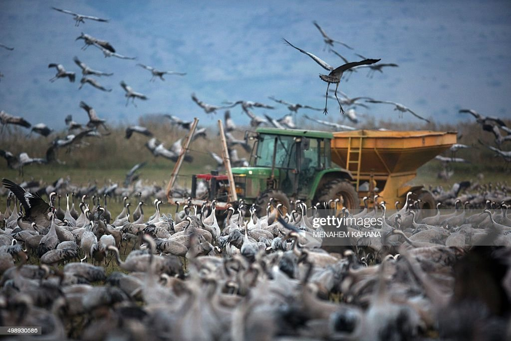 A picture taken on November 26 2015 shows Gray Cranes flocking over a tractor dispersing food at the Agamon Hula Lake in the Hula valley in northern...