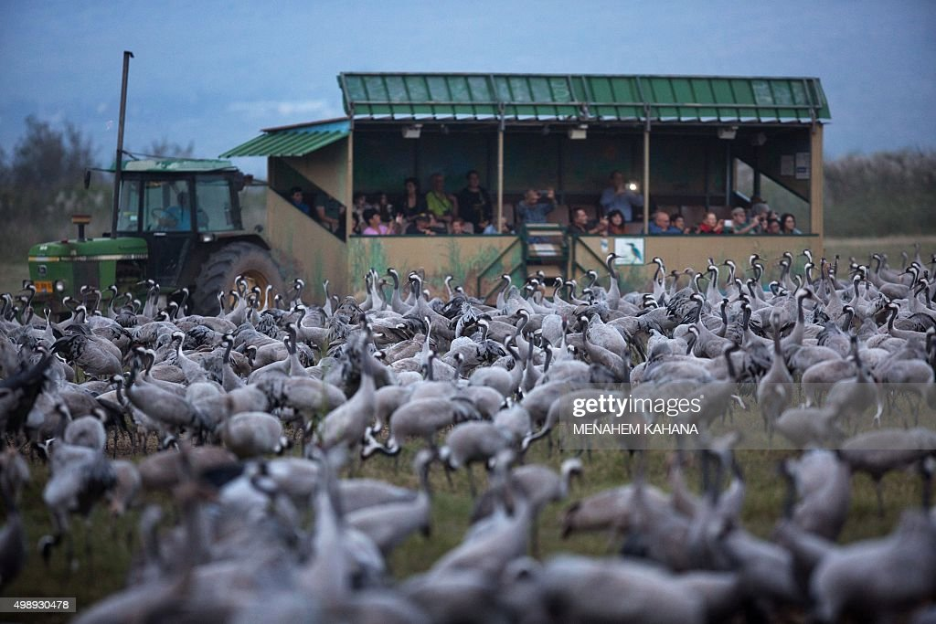 A picture taken on November 26 2015 shows tourists sits in a wagon pulled by a tractor as they watch Gray Cranes at the Agamon Hula Lake in the Hula...