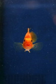 A picture taken on November 30 2013 shows a goldfish in an aquarium at a mall in Sevilla AFP PHOTO / GOGO LOBATO