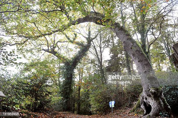 A picture taken on November 6 2011 in Fouesnant western France shows a 200years old pedunculate oak or English oak also known in Brittany as the...