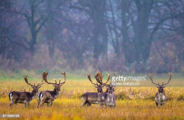 A picture taken on November 8 2017 shows deers in the Moenchsbruch forest outside Frankfurt am Main Germany / AFP PHOTO / dpa / Boris Roessler /...