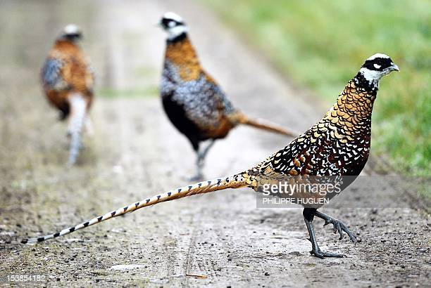 A picture taken on October 10 2012 shows pheasants on a forest road in Strazeele northtern France AFP PHOTO PHILIPPE HUGUEN