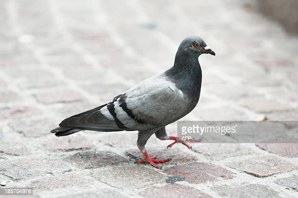 A picture taken on October 10 2013 shows a pigeon walking on the Meir in Antwerpen Six Belgian racing pigeon have failed doping tests one testing...