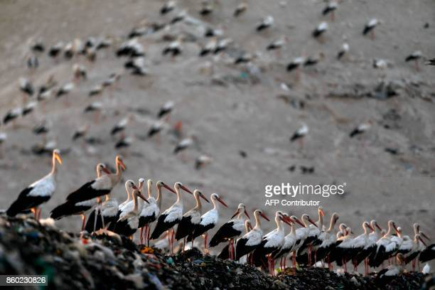 A picture taken on October 11 shows storks gathering at the Tovlan landfill in the Jordan Valley as birds migrate south from Europe to Africa before...