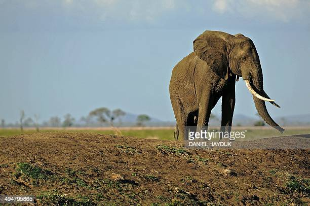 A picture taken on October 14 2013 shows an elephant in Mikumi National Park which borders the Selous Game Reserve Tanzania A third of all illegal...