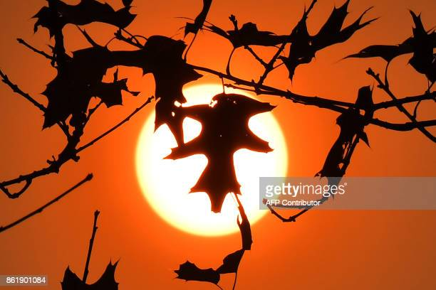 A picture taken on October 16 2017 in Le Gavre western France shows oak leaves silhouetted in the Autum sun / AFP PHOTO / LOIC VENANCE