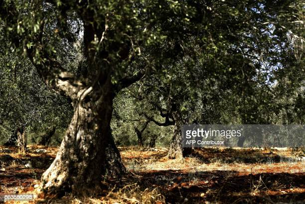 A picture taken on October 20 2017 shows olive trees in a field in the town of Batroumin north of Beirut Lebanons olive oil production oscillates...