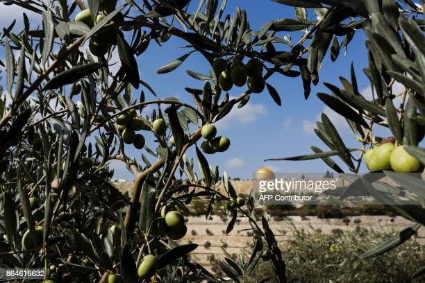 A picture taken on October 21 2017 shows olives from Millennium Olive trees at the Franciscan Hermitage of Gethsemane in the Mount of Olives just...