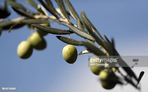 A picture taken on October 21 2017 shows olives hanging from Millennium Olive trees at the Franciscan Hermitage of Gethsemane in the Mount of Olives...