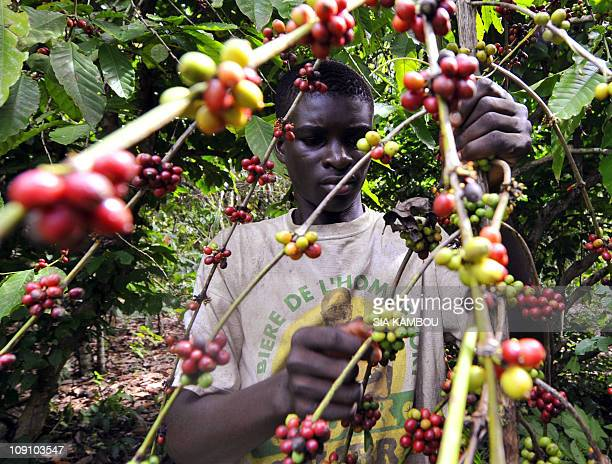 Picture taken on October 22 2010 shows a man picking coffee beans in a coffee and cocoa plantation in Divo The government of Ivory Coast's...