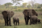 AUSSEILL Picture taken on October 25 2010 of elephants walking with elephant calfs in the Serengeti national reserve in northern Tanzania A project...