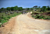 AUSSEILL Picture taken on October 25 2010 of zebras crossing a road in the Serengeti national reserve in northern Tanzania A project to build a road...