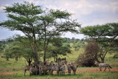 AUSSEILL Picture taken on October 25 2010 of zebras taking shelter under a tree in the Serengeti national reserve in northern Tanzania A project to...