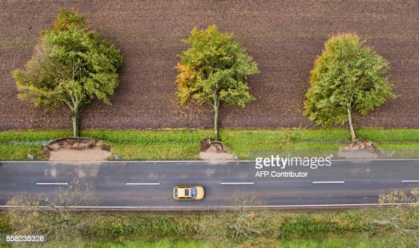 A picture taken on October 6 2017 in Hildesheim central Germany shows three uprooted trees along a road after the owner has felled them on purpose so...