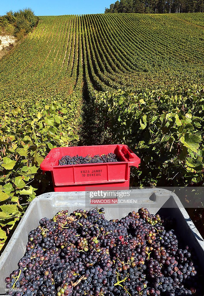 A picture taken on September 24, 2013 in Buxeuil shows grapes during the harvest for the Champagne house Koza-Janot.