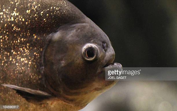 A Picture taken on September 29 2010 shows RedBellied piranha inside the aquarium of the Dubai Mall AFP PHOTO / JOEL SAGET