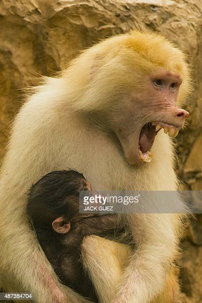 A picture taken on September 9 2015 shows Sahara a four year old Hamadryas Baboon playing with its threeweeksold baby at the Ramat Gan Safari zoo...