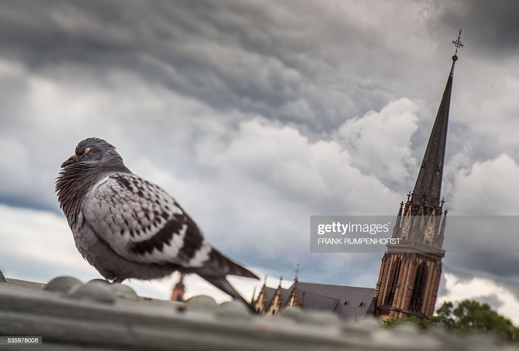 Picture taken with a tilt-shift lens shows a pigeon snoozing on the Eiserner Steg bridge in Frankfurt am Main, western Germany, as at (R) can be seen the Dreikönigskirche church, on May 31, 2016. / AFP / dpa / Frank Rumpenhorst / Germany OUT