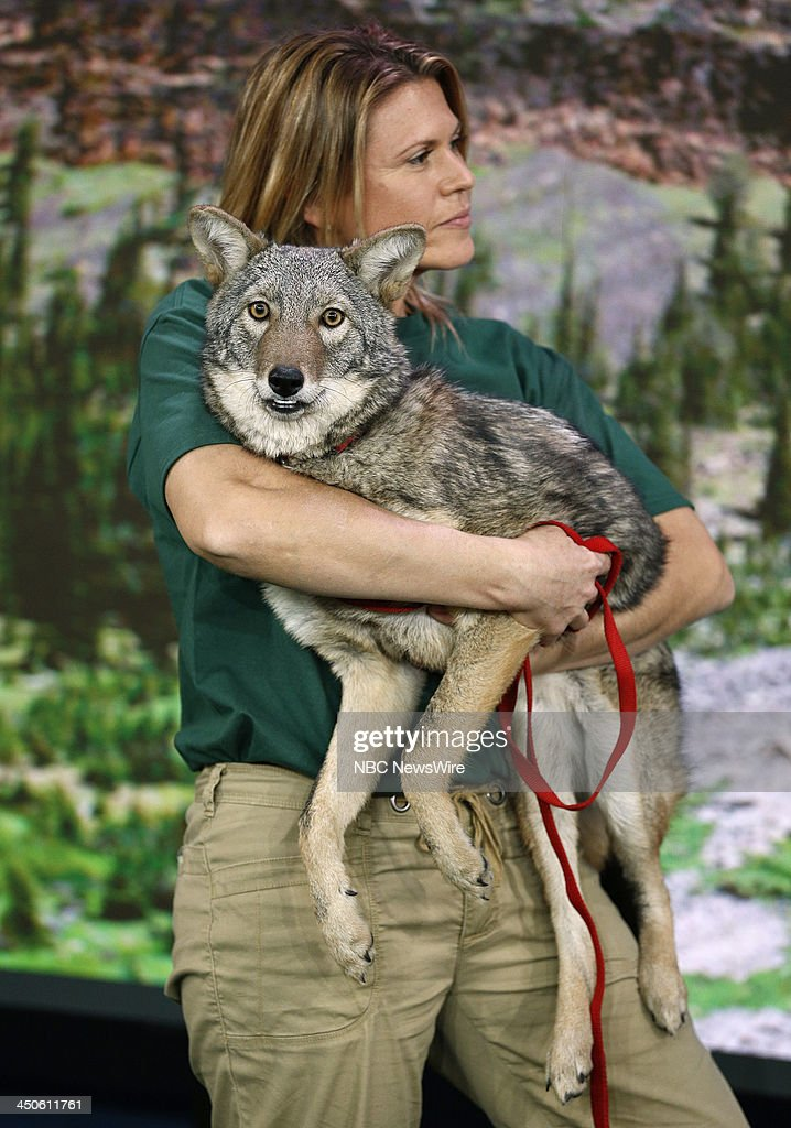 A Coyote appears on NBC News' 'Today' show --