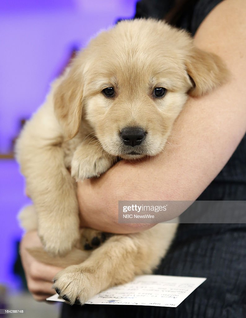 A Golden Retreiver puppy appears on NBC News' 'Today' show on March 22, 2013 --