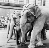 A group of elephants pass by during the 1954 Macy's Thanksgiving Day Parade