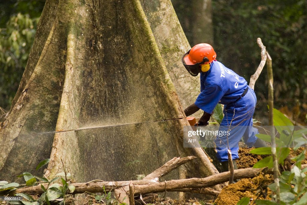 Pictured dated in July 2006 shows a man cutting a tree at the forest concession of the company 'La Compagnie Equatoriale des Bois' a subsidiary of...