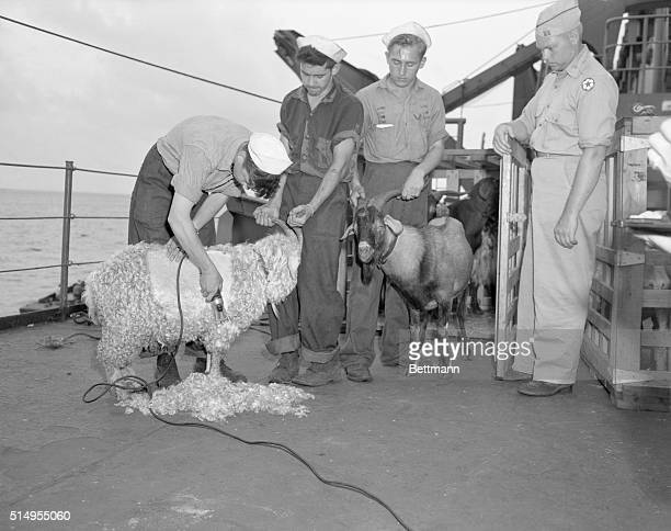 Pictures of one of the goats that will be used in atom bomb test being shaven so the anti flash ointment could be applied before shipping them to one...