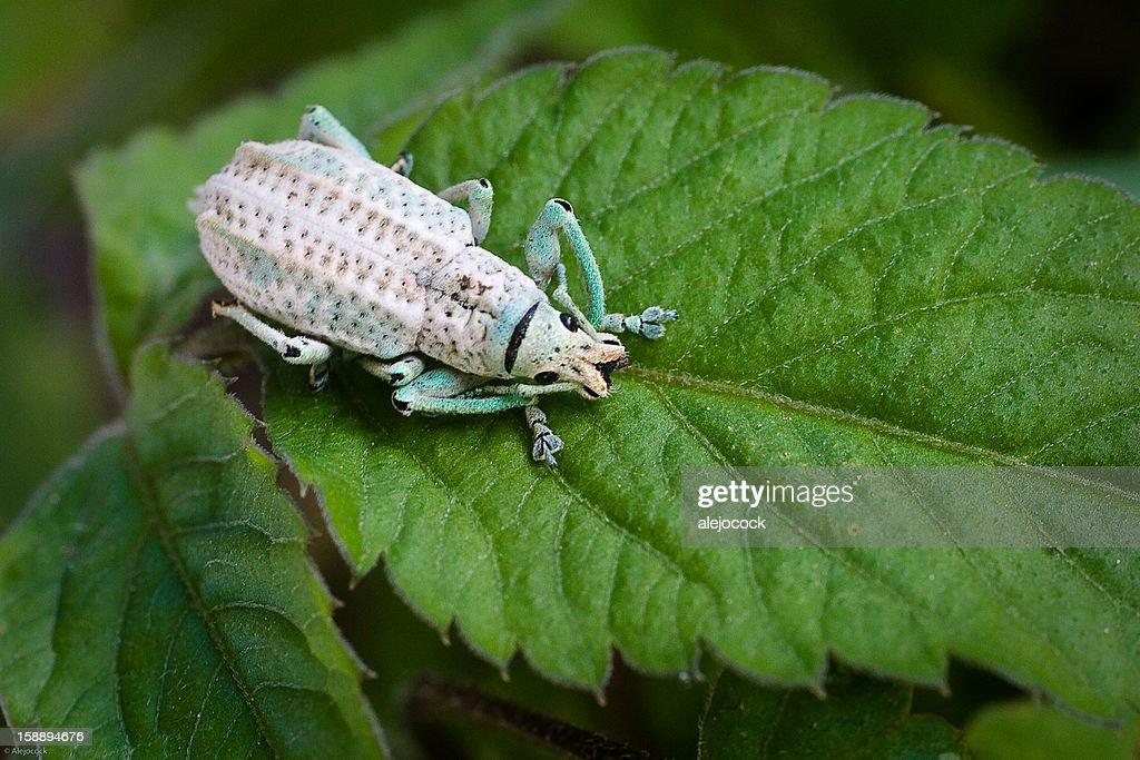 Picudo - (Curculionidae G.compsus) : Stock Photo