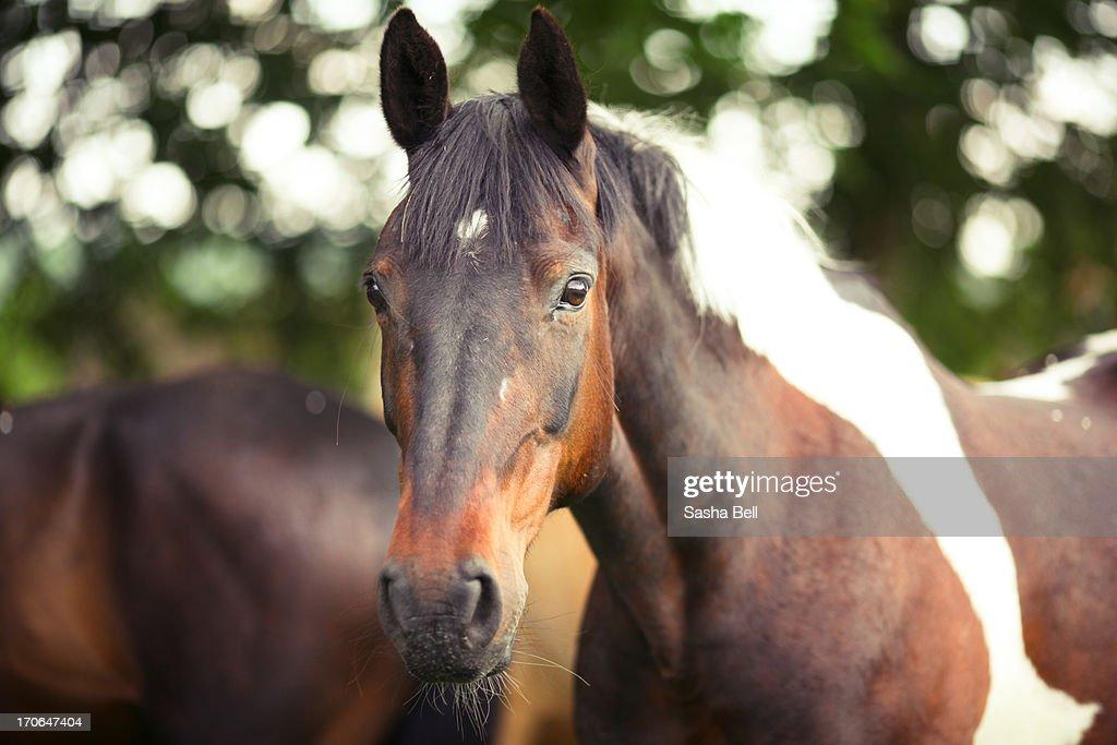 Piebald Coloured Horse