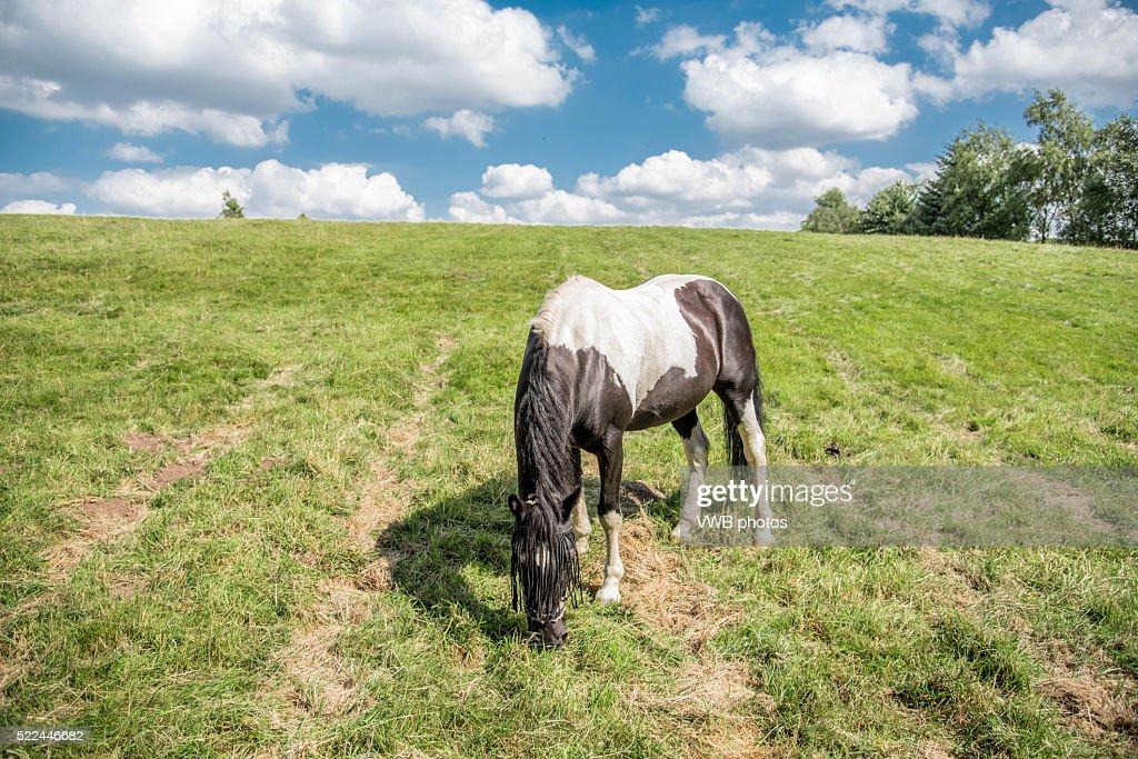 Piebald pony grazing in sunlit field
