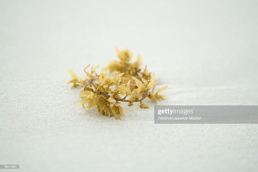 Piece of seaweed on sand, close-up : Stock Photo