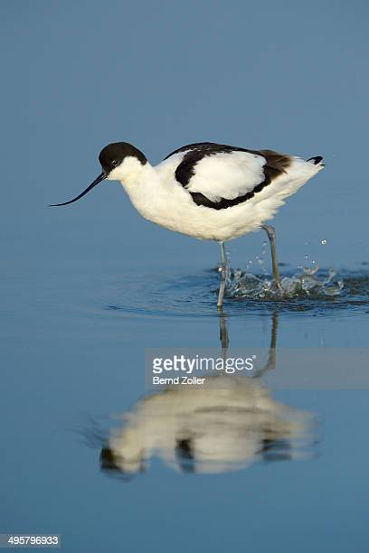 Pied Avocet -Recurvirostra avosetta-, foraging for food, Wagejot Nature Reserve, Texel, West Frisian Islands, province of North Holland, Netherlands