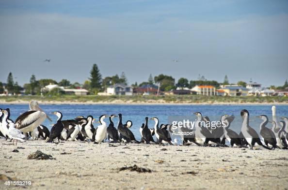 cormorano bianco e nero foto e immagini stock