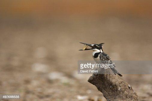 Pied kingfisher - Ceryle rudis - holding fish, Mana Pools National Park, Zimbabwe : Stock Photo