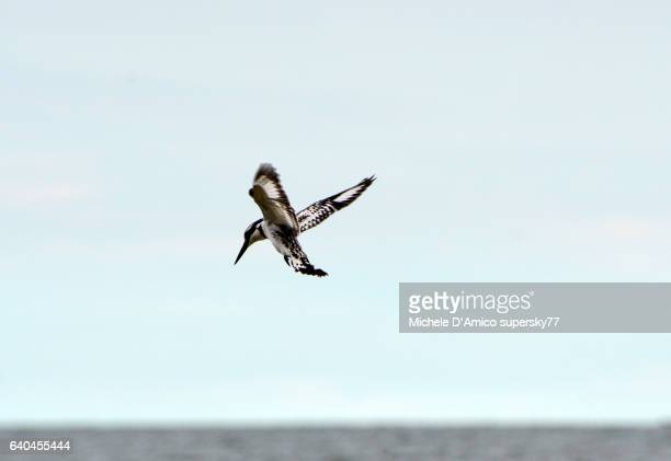 Pied kingfisher flying