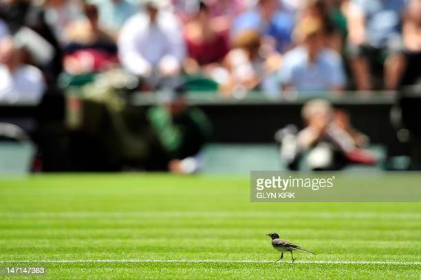 Pied Wagtail bird seen on the Centre Court grass on the second day of the 2012 Wimbledon Championships tennis tournament at the All England Tennis...