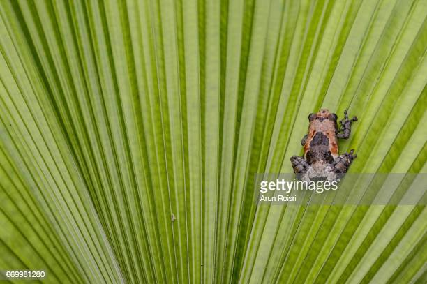 Pied Warted Tree Frog - Theloderma asperum