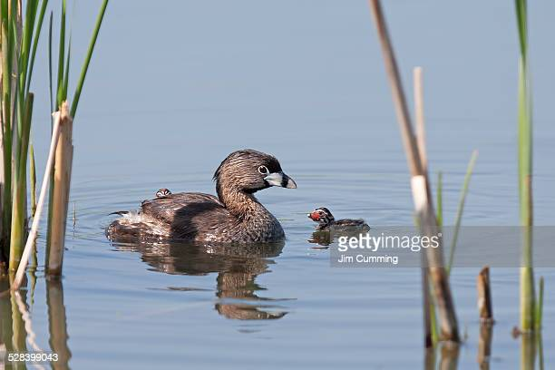 Pied-billed Grebe with chicks